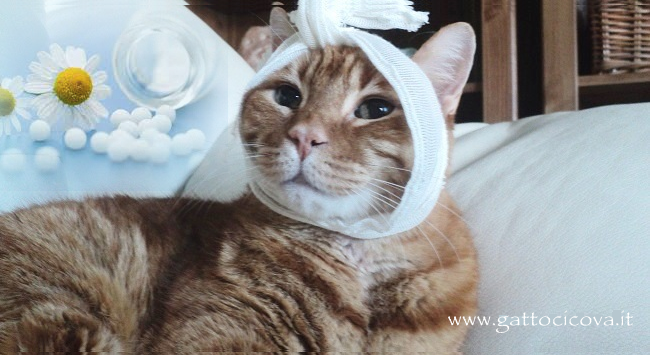 Ascesso Gatto Cure Naturali Infiammazione e Suppurazione