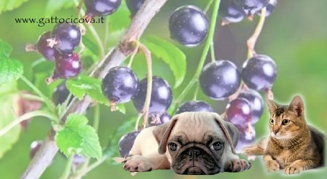 Ribes Nigrum Gatto Cane