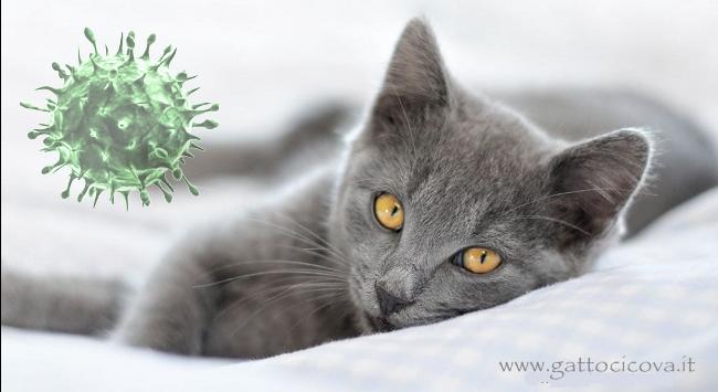 Calicivirus felino gatto rimedi